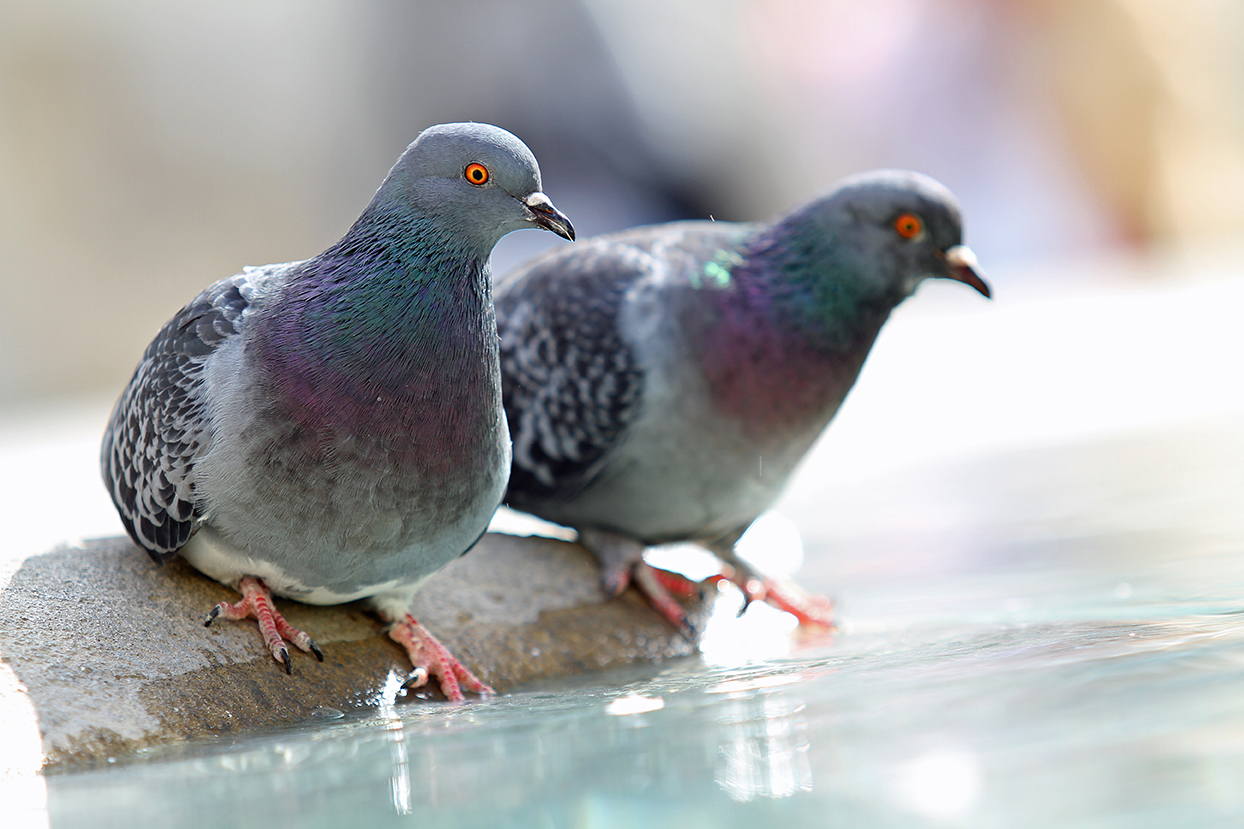 Pigeons  une fontaine